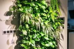 zielona sciana zielistka
