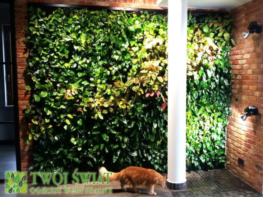 zielona ściana aglonema