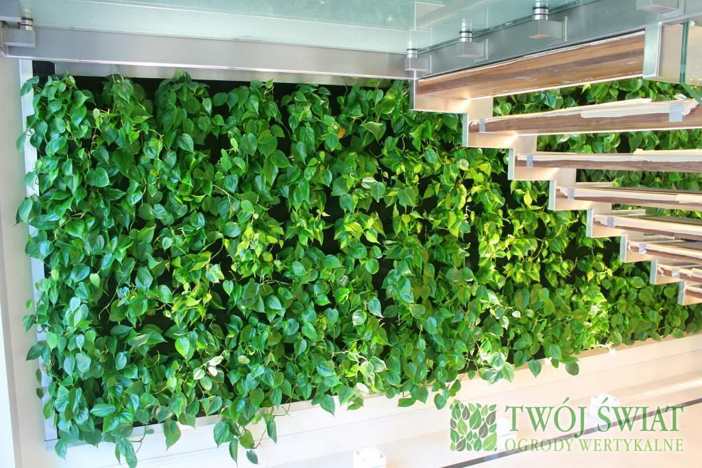 zielona ściana filodendron