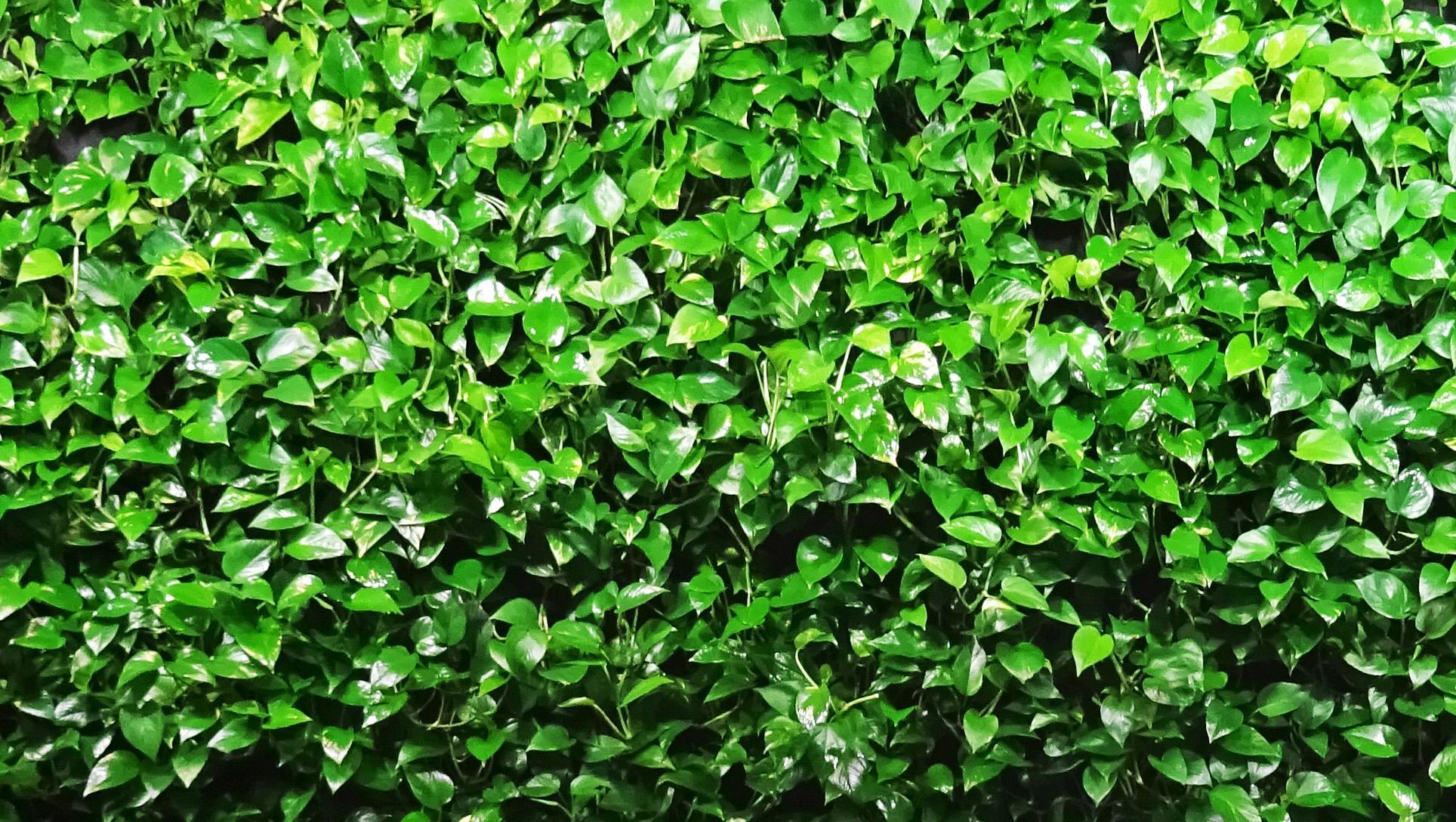 scindapsus na zielonej scianie