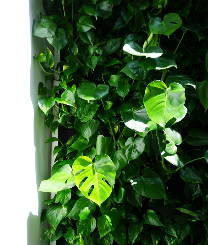 monstera na zielonej scianie